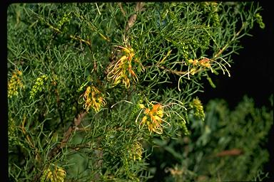 APII jpeg image of Grevillea dielsiana  © contact APII