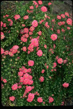 APII jpeg image of Pimelea rosea  © contact APII