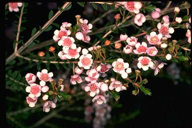 APII jpeg image of Thryptomene saxicola  © contact APII