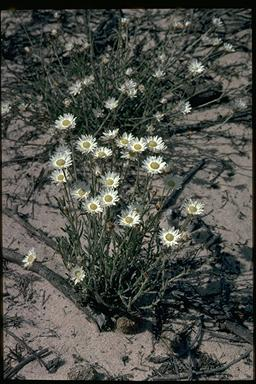 APII jpeg image of Helichrysum sp.  © contact APII