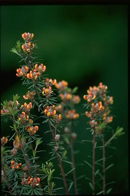 APII jpeg image of Pultenaea dentata  © contact APII