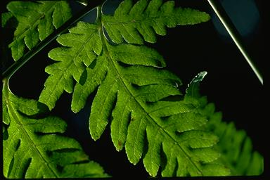 APII jpeg image of Pteris comans  © contact APII