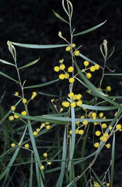 APII jpeg image of Acacia angusta  © contact APII