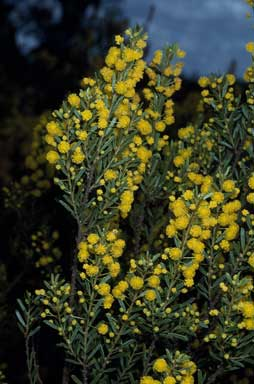 APII jpeg image of Acacia burbidgeae  © contact APII