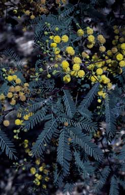 APII jpeg image of Acacia debilis  © contact APII