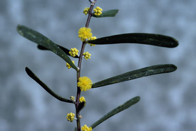 APII jpeg image of Acacia farinosa  © contact APII