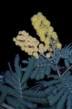 APII jpeg image of Acacia fulva  © contact APII