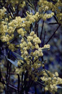APII jpeg image of Acacia kettlewelliae  © contact APII
