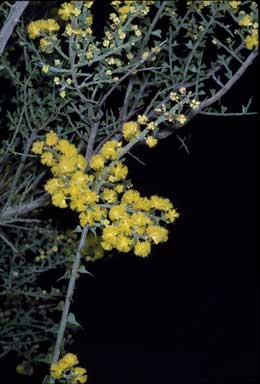 APII jpeg image of Acacia pravifolia  © contact APII