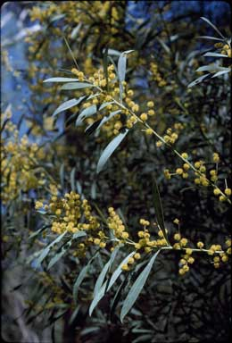 APII jpeg image of Acacia rubida  © contact APII