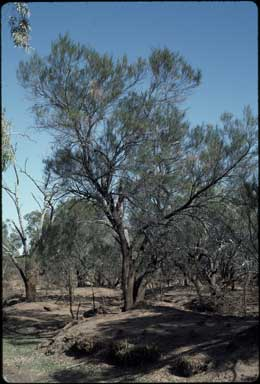 APII jpeg image of Acacia stenophylla  © contact APII
