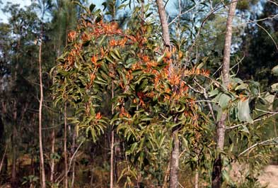 APII jpeg image of Dendrophthoe curvata  © contact APII
