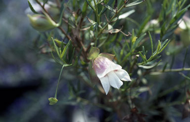 APII jpeg image of Eremophila clarkei  © contact APII