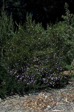 APII jpeg image of Eremophila drummondii  © contact APII