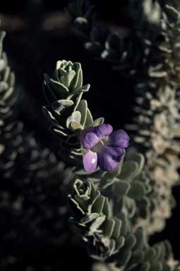 APII jpeg image of Eremophila rhegos  © contact APII