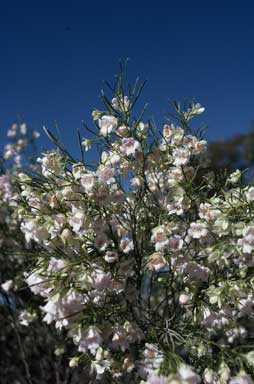 APII jpeg image of Eremophila sturtii  © contact APII