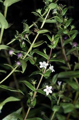 APII jpeg image of Myoporum oppositifolium  © contact APII