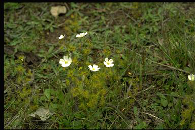 APII jpeg image of Drosera auriculata  © contact APII