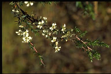 APII jpeg image of Leptospermum continentale  © contact APII