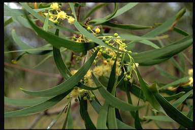 APII jpeg image of Acacia implexa  © contact APII