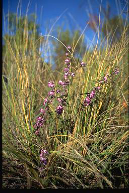 APII jpeg image of Hovea linearis  © contact APII