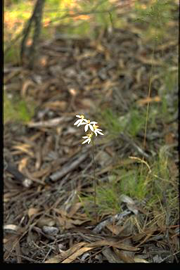 APII jpeg image of Caladenia cucullata  © contact APII