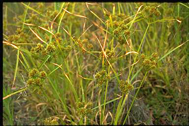 APII jpeg image of Cyperus eragrostis  © contact APII