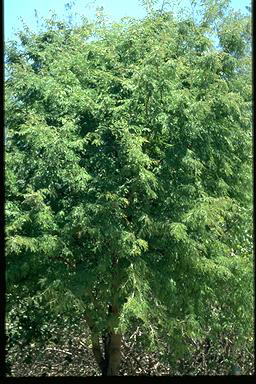 APII jpeg image of Tamarindus indica  © contact APII