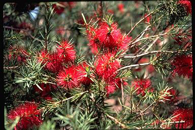 APII jpeg image of Callistemon subulatus  © contact APII