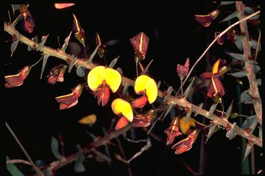 APII jpeg image of Daviesia cardiophylla  © contact APII