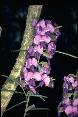 APII jpeg image of Hovea trisperma  © contact APII