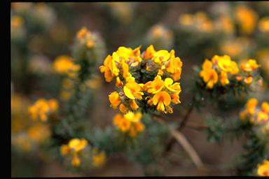 APII jpeg image of Pultenaea canescens  © contact APII