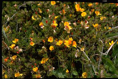 APII jpeg image of Pultenaea fascicularis  © contact APII