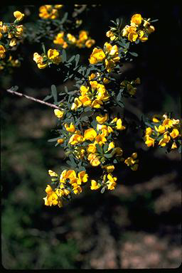 APII jpeg image of Pultenaea flexilis  © contact APII