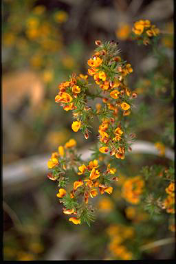 APII jpeg image of Pultenaea laxiflora  © contact APII