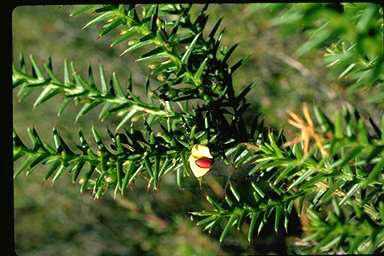 APII jpeg image of Daviesia spinosissima  © contact APII