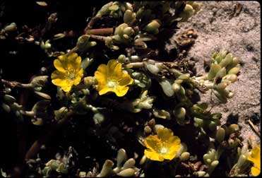 APII jpeg image of Portulaca intraterranea  © contact APII
