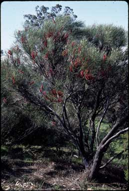 APII jpeg image of Hakea bucculenta  © contact APII