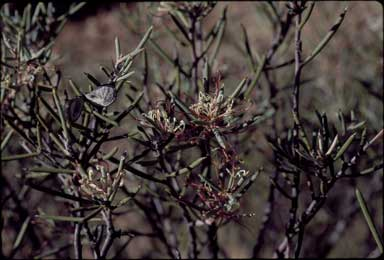 APII jpeg image of Hakea collina  © contact APII