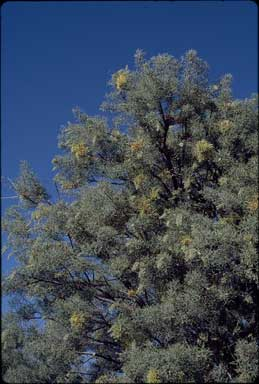 APII jpeg image of Hakea eyreana  © contact APII