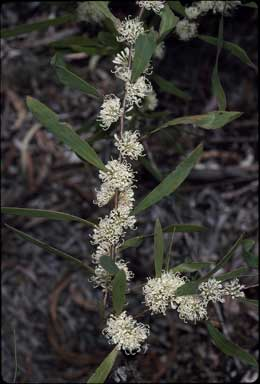 APII jpeg image of Hakea florulenta  © contact APII