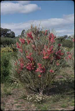 APII jpeg image of Hakea francisiana  © contact APII