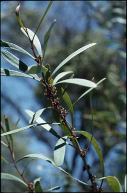 APII jpeg image of Hakea hookeriana  © contact APII