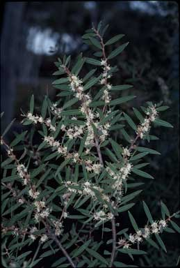 APII jpeg image of Hakea marginata  © contact APII
