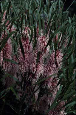 APII jpeg image of Hakea multilineata  © contact APII