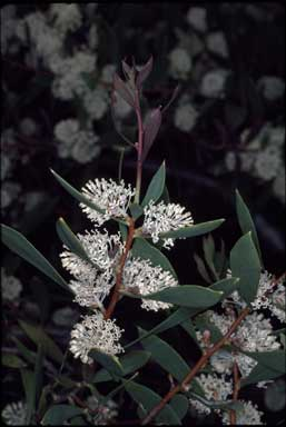 APII jpeg image of Hakea nitida  © contact APII