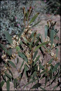APII jpeg image of Hakea pandanicarpa  © contact APII