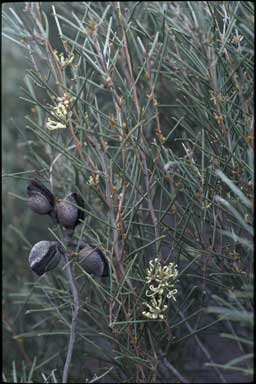 APII jpeg image of Hakea tephrosperma  © contact APII