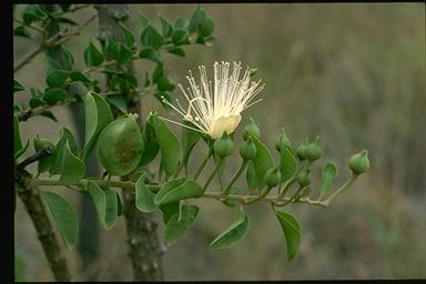 APII jpeg image of Capparis canescens  © contact APII
