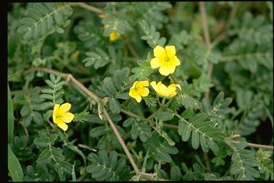 APII jpeg image of Tribulus terrestris  © contact APII